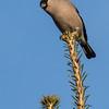 Bullfinch - Dompap
