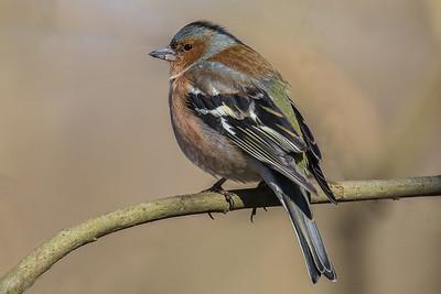 Finches - Finker