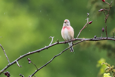 Common Linnet - Tornirisk