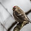 Common Redpoll - Gråsisken