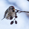 Common Redpoll - Gråsisken