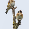 European Goldfinch - Stillits