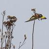 European Goldfinch - Stillits