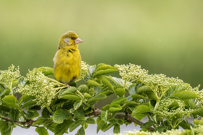European Greenfinch ~ Grønirisk