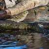 Siskin - Grønsisken