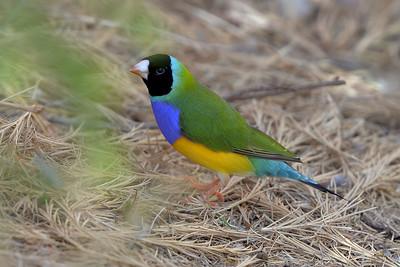 0797_5566 Gouldian Finch