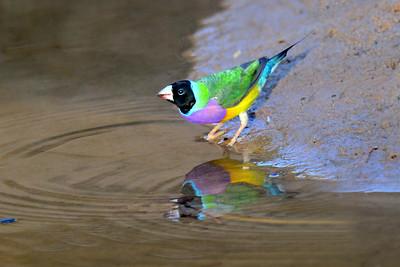 0797_9987 Gouldian Finches at the waterhole_Roper Creek