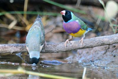 0797_8899 Gouldian Finch_Timber Creek