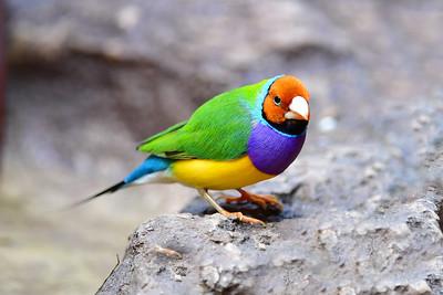 0797_3939 Gouldian Finch_NT