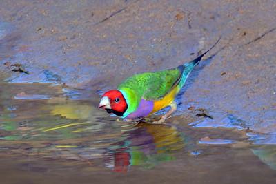0797_9969 Gouldian Finch_Roper Creek NT