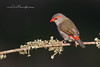 Red-Browed Finch, Neochmia temporalis.
