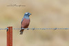 White-Browed Woodswallow, Artamus superciliousus
