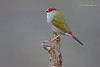 Red- Browed Finch, Neochmia temporalis