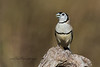 Double-barred Finch, Taeniopygia bichenovii.
