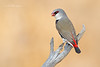 Diamond Firetail, Stagonopleura guttata