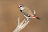Diamond Firetail. Stagonopleura guttata,
