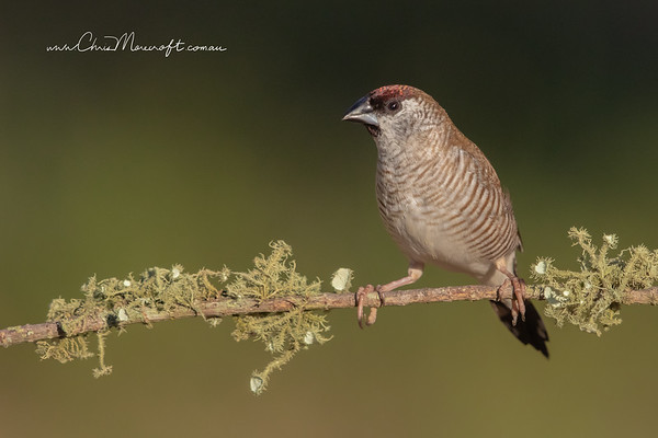 Plum-Headed Finch, Neochmia modesta