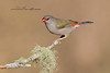 Red-Browed Finch, Neochmia temporalis