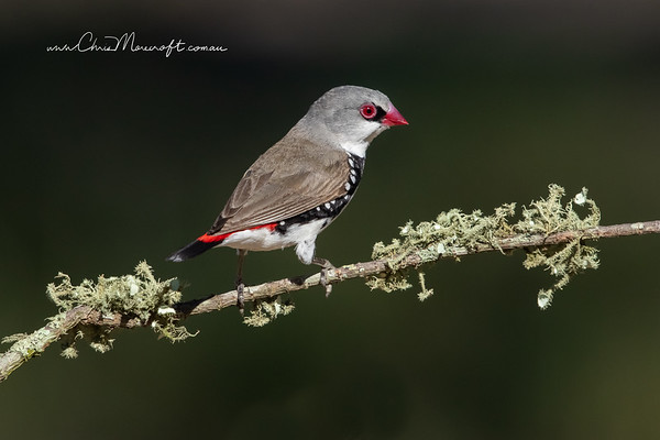 Diamond Firetail, Stagonopleura guttara