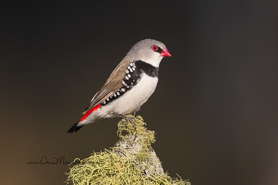 Diamond Firetail  Stagonopleura guttata