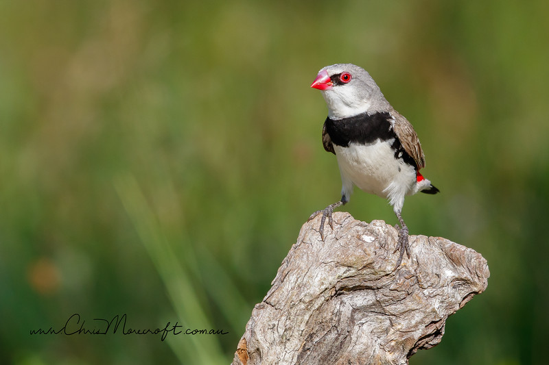 Diamond Firetail - Stagonopleura guttata