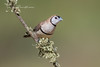 Double-barred Finch, Taeniopygia bichenovii