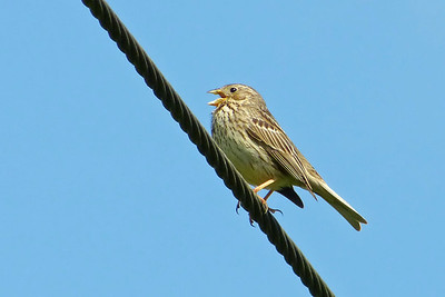 Corn Bunting (Emberiza calandra) [singing male], Pitstone Hill, Buckinghamshire, 20/06/2012. Not the best setting for this increasingly rare UK Bunting but the power lines offered the best opportunity to date for photographs.