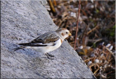 Snow Bunting (Plectrophenax nivalis) [juvenile, male], Startop's End reservoir, Hertfordshire, 13/12/2011. A full profile view.