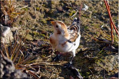 Snow Bunting (Plectrophenax nivalis) [juvenile, male], Startop's End reservoir, Hertfordshire, 15/12/2011.