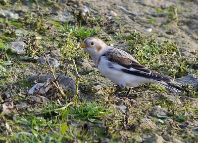 Snow Bunting (Plectrophenax nivalis) [juvenile, male], Startop's End reservoir, Hertfordshire, 13/12/2011.