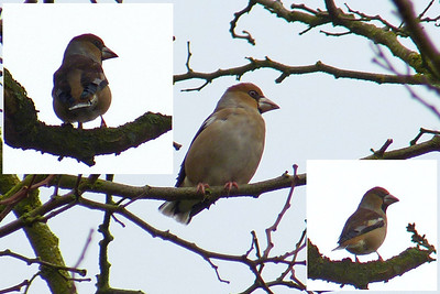 "Hawfinch (Coccothraustes coccothraustes) [males], Bramfield, Hertfordshire, 08/12/2012. The forecast was for very light winds, clear skies and bright sunshine (albeit 3 deg C). Unfortunately, for the 2 hrs I was in Bramfield, it was covered to varying degrees in mist/fog. Visibility was poor and light was awful! However, that didn't dampen the experience of seeing my first Hawfinches. At one point, 4 seperate birds all alighted in a large tree in the Old Rectory gardens, which could be viewed from the churchyard. Above is a composite of the 3 ""best"" shots of the morning (the two inserts are of the same bird; the main shot is a different bird, I think)"