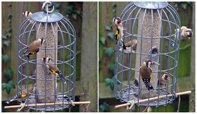 Goldfinch (Carduelis carduelis), Hemel Hempstead garden, Hertfordshire, 06/02/2011. The only pictures I have of this species are on the feeder, unfortunately.