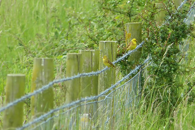 Yellowhammer (Emberiza citrinella) [pair], Pitstone Hill, Buckinghamshire, 20/06/2012. Mr & Mrs...