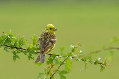 Yellowhammer (Emberiza citrinella) [male], Pitstone Hill, Buckinghamshire, 20/06/2012. Another male without a beakful!
