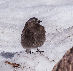 Black-crowned  Rosy-Finch Blacktooth Pass 2015 -06-11-3.CR2