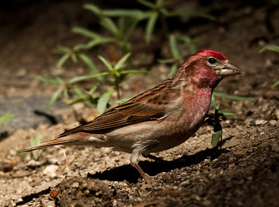 Cassin`s Finch  Mammoth Lakes  2013 05 20 (1 of 3).CR2