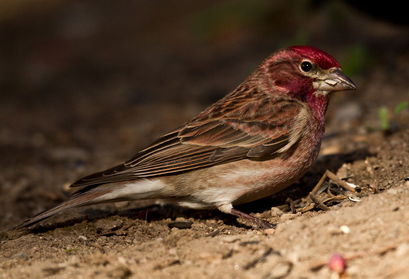 Cassin`s Finch  Mammoth Lakes  2013 05 20 (1 of 6).CR2