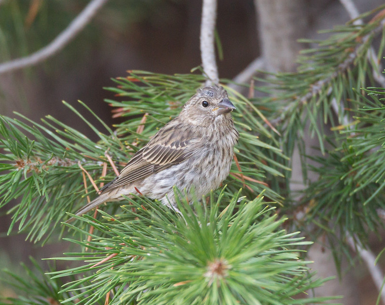 Cassin`s Finch Mammoth Lakes 2018 08 11-1.CR2