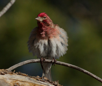 Cassin`s Finch  Mammoth Lakes  201`2 05 24 (2 of 3).CR2