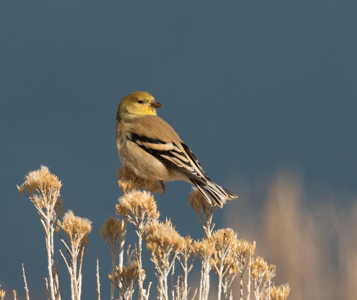 American Goldfinch Grant Lake 2016 11 02-2.CR2-1.CR2