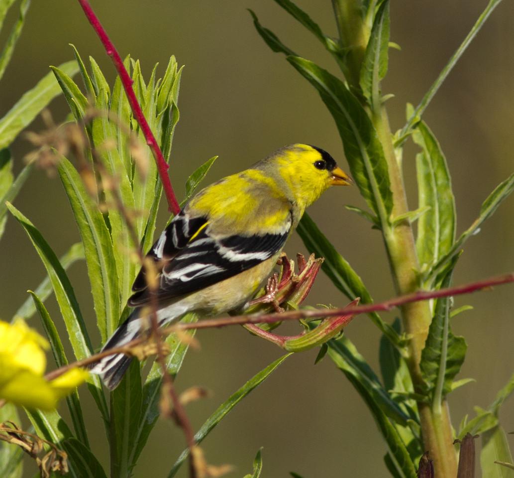 American Goldfinch Encinitas 2014 04 27-2.CR2