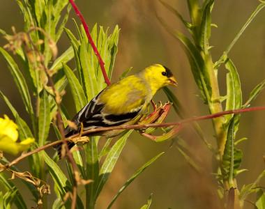 American Goldfinch Encinitas 2014 04 27-1.CR2