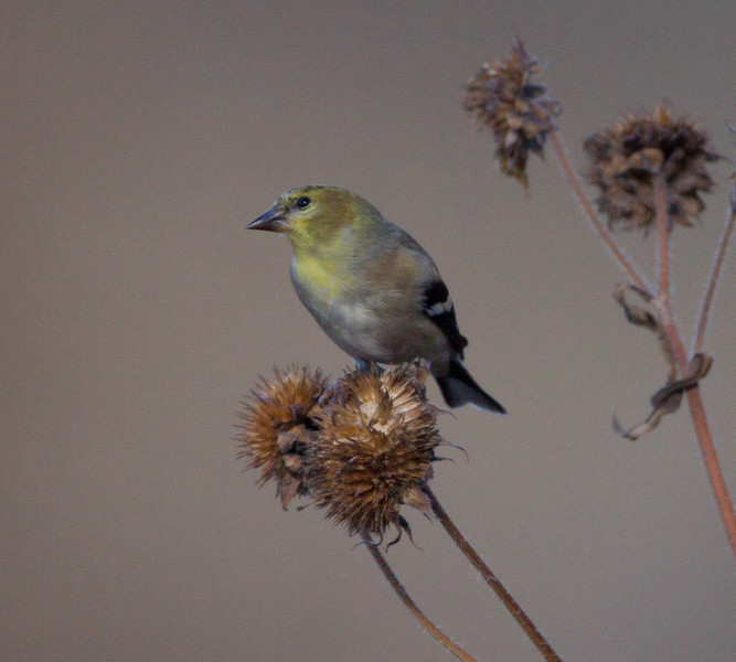 American Goldfinch Bosque del Apache 2016 11 22-1.CR2