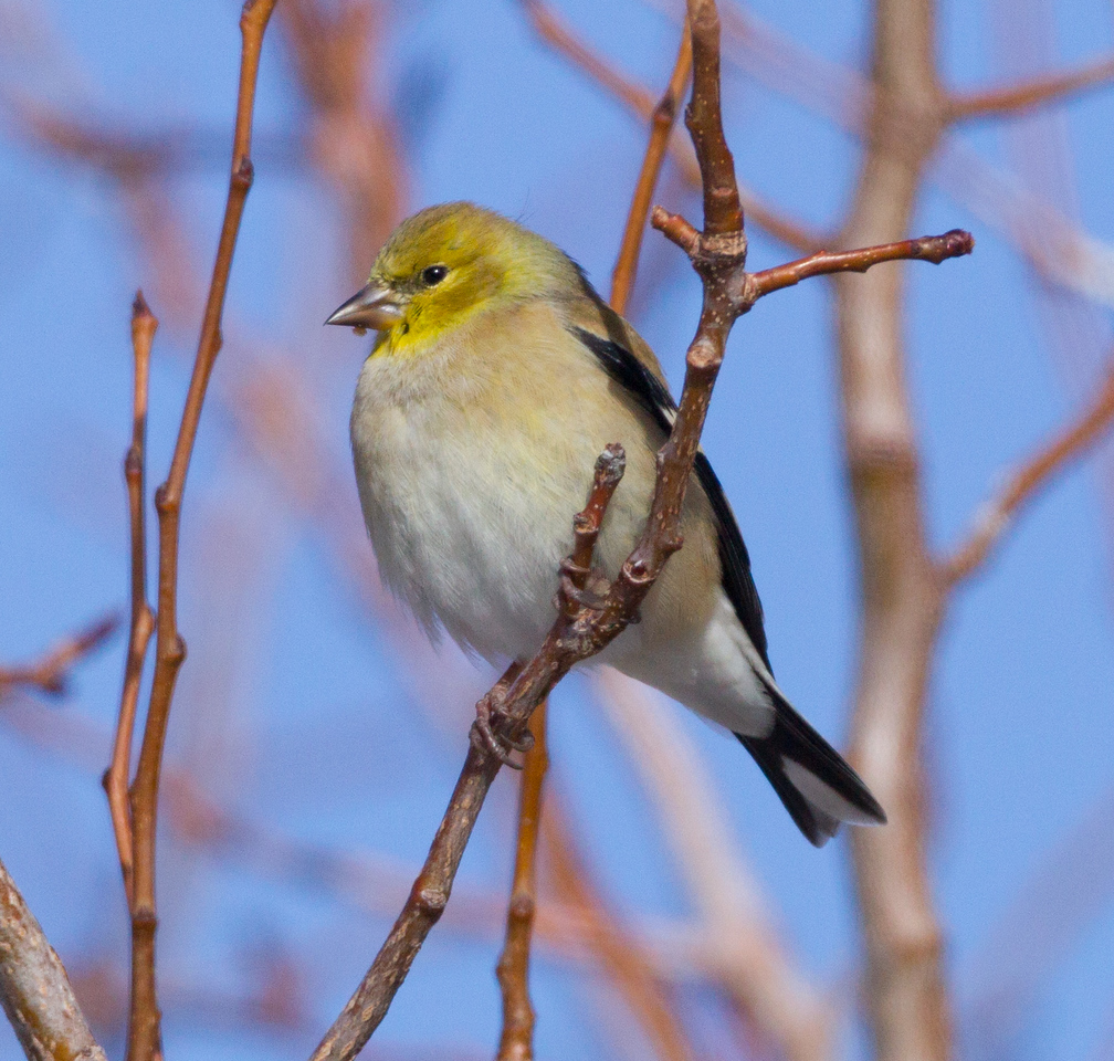 American Goldfinch Crowley Lake 2014 12 17-1.CR2