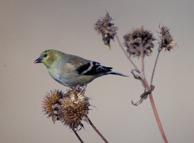 American Goldfinch Bosque del Apache 2016 11 22-2.CR2