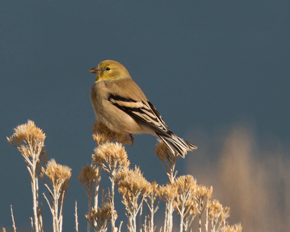 American Goldfinch Grant Lake 2016 11 02-2.CR2-2.CR2