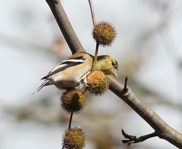 American Goldfinch Encinitas 2014 11 30-2.CR2