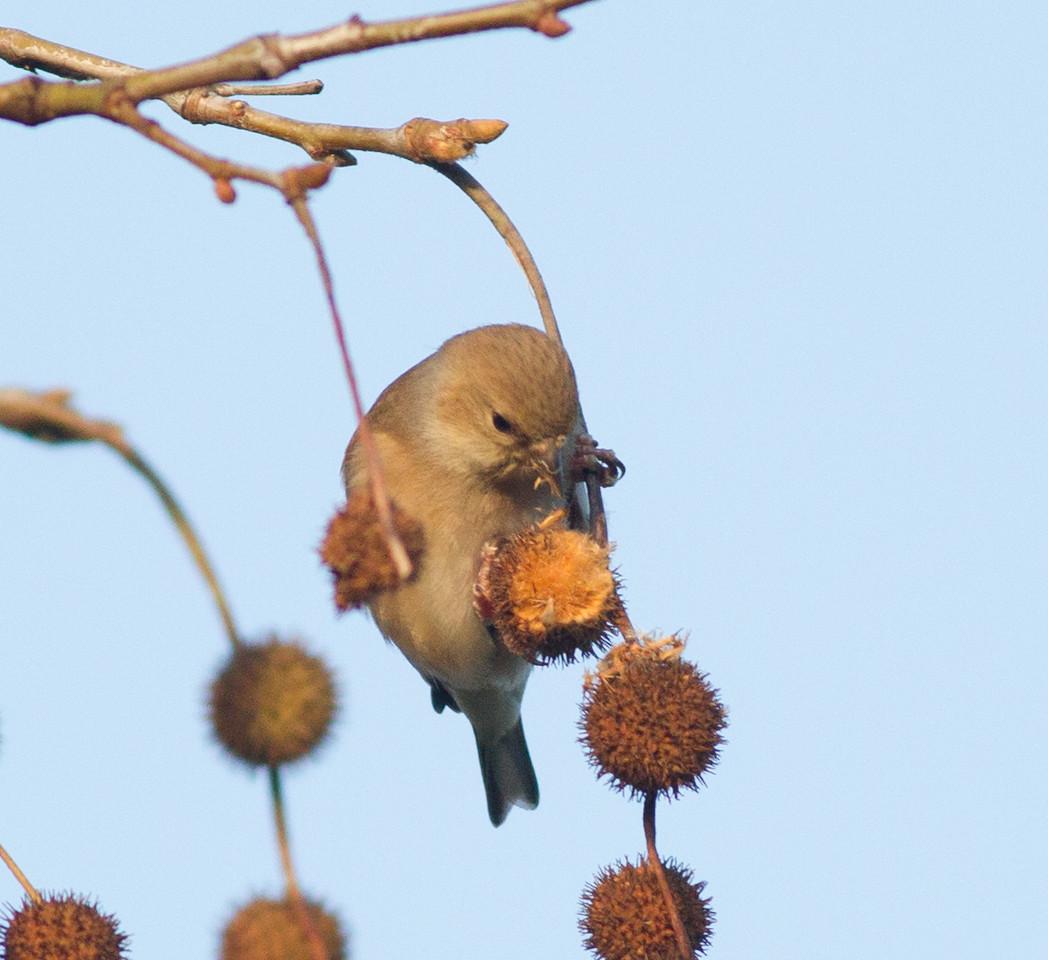 American Goldfinch Encinitas 2015 01 13-1.CR2