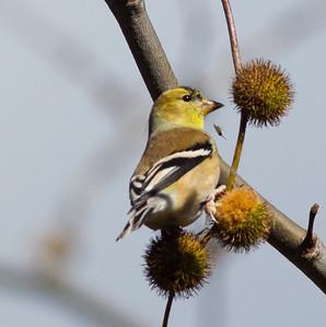 American Goldfinch Encinitas 2014 11 30-1.CR2