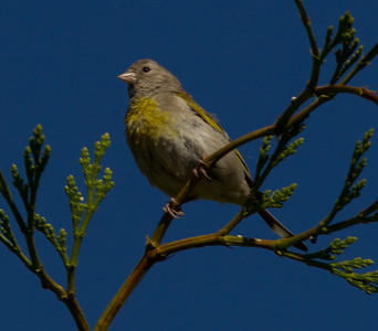 Lawrence`s Goldfinch   Mt. Palomar 2012 06 07 (2 of 2).CR2